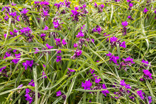 Small Purple Flowering Tradescantia Plant In A Garden.