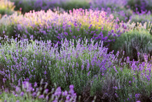 Landscape Of Lavender Field
