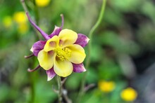 Beautiful Purple With Yellow Aquilegia Flower As A Natural Background.