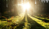 Fototapeta Las - Beautiful sunlight with beams in morning mossy forest.