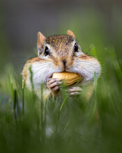 Closeup Of A Wild Chipmunk Outdoors Eating Peanuts