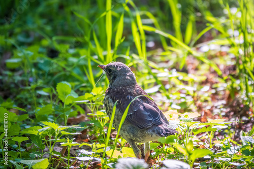 Obraz na plátně A fieldfare chick, Turdus pilaris, has left the nest and sitting on the spring lawn