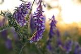 Fototapeta Kwiaty -  Fioletowe kwiaty polne w blasku zachodzącego słońca