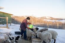 Man Feeding Sheep On Winter Farm