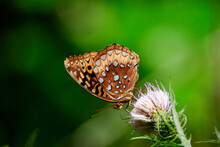 This Great Spangled Fritillary Butterfly Is Shown On A Thistle Bloom Against A Green Background.