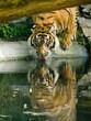 Tygrys pijący wodę