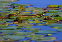 The Grass Snake (Natrix Natrix), Sometimes Called The Ringed Snake Or Water Snake Crawling On The Leaves Of Water Lilies On The Water.