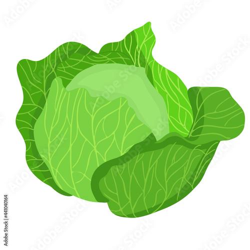 Canvas Fresh green cabbage hand-drawn vector illustration