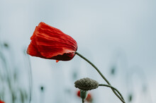 Close Up Of Red Poppy Flower In The Wind