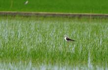 Black-winged Stilt In A Wetland