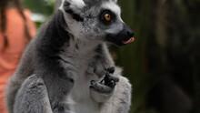 Ring Lemur