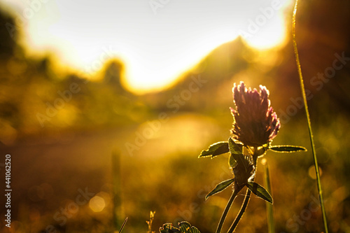 Fotografia Closeup shot of a thistle flower at sunset