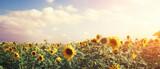Fototapeta Dmuchawce - Wunderschöne Sonnenblumen