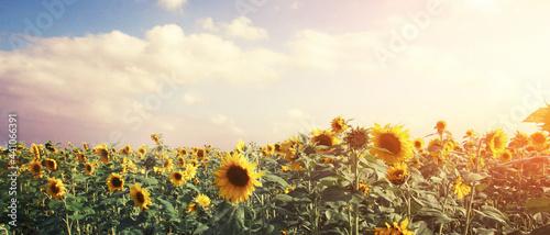 Fotografiet Wunderschöne Sonnenblumen