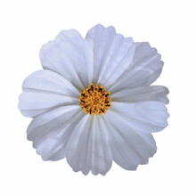 White Flower With A Yellow Centre. The Illustration Is Based On A Garden Cosmos Flower Or Cosmos Bipinnatus