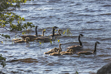 Canada Geese And Their Goslings In The Water