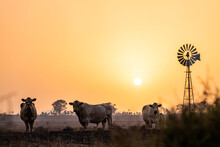 Cows And Windmill In Dry Smoky Drought Conditions