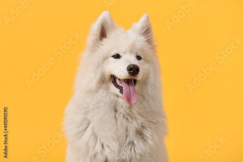 Cute Samoyed dog on color background Tapéta, Fotótapéta