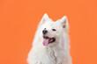 Leinwandbild Motiv Cute Samoyed dog on color background