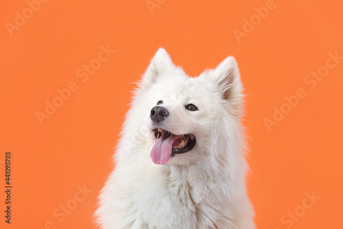 Cute Samoyed dog on color background Fotobehang