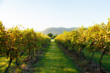 Early Morning Light Over Rows Of Grapevines In Late Summer, In The Hunter Valley, NSW