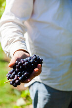 Fruit Picker Person Holding Bunch Of Red Wine Grapes In Hand