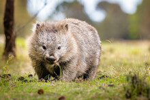 Common Wombat Eating Grass In The Wild