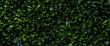 Leinwandbild Motiv Laurier cerise (Prunus laurocerasus). Mur de feuille d'un buisson abstrait vert. Bannière, texture et arrière plan en volume