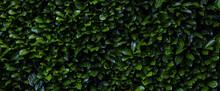 Laurier Cerise (Prunus Laurocerasus). Mur De Feuille D'un Buisson Abstrait Vert. Bannière, Texture Et Arrière Plan En Volume
