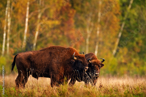 Foto Bison herd in the autumn forest, sunny scene with big brown animal in the nature habitat, yellow leaves on the trees, Bialowieza NP, Poland