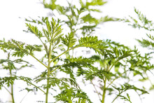 Medicinal Plant Sweet Annie With Leaves