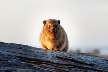 Rock Dassie On A Rock In The Early Morning Sun Looking Straight At The Camera