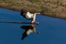 One Egyptian Goose Landing With Beautiful Reflection On The River
