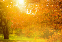 Autumn Tree In The Rays Of The Setting Sun. A Sunny Park In Magnificent Autumn Colors, A Majestic Oak With Red Leaves In The Foreground.