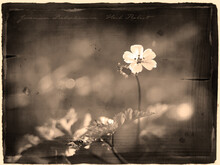 Tiny Herb-Robert Geranium Robertianum Flower In Antique Old Photograph Style With Cursive Annotation Label