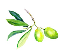 Olive Branch With Green Olives Vegetables, Leaves. Watercolor
