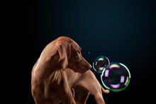 Happy Dog Catches Soap Bubbles. Young Hungarian Vizsla