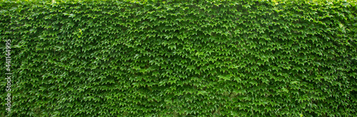 Fotografia Green ivy wall. Texture or background. A lot of leaves.