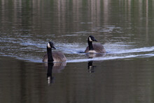 Two Canada Goose (Branta Canadensis) Making Speed Towards The Camera With Bow Waves And Bulrush Reflected In The Clear Water
