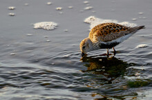 The Dunlin Or Calidris Alpina. One Bird Dunlin On The Shore Looking For Food