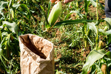 Farmer Standing In A Field, Picking Sweetcorn
