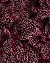 Full Frame Of Purple Leaves Texture Background.