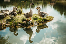 Geese Mirroring In The Water