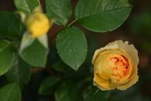 Graham Thomas Rose Flower Buds, Rich Deep Yellow Roses.