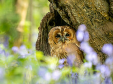 Tawny Owl Perched In The Bluebells