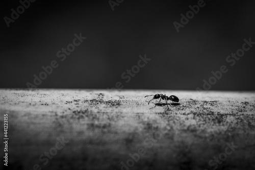 Fotografija Grayscale shot of an ant on grunge, flat surface