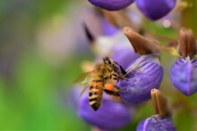 Close Up Of A Honey Bee On A Purple Lupin Flower