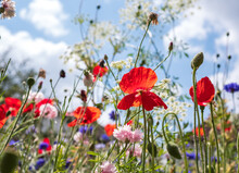 Variety Of Wild Flowers Including Poppies, Cornflowers And Cow Parsely, Growing On A Grass Verge Next To The Road In Eastcote, Hillingdon, In The London Suburbs, UK. Blue Sky In The Background.