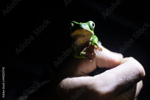 Obraz na plátne Tree Frog in a Hand