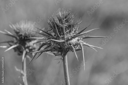fiori di cardo
